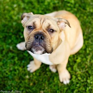 Walter - Victorian Bulldog