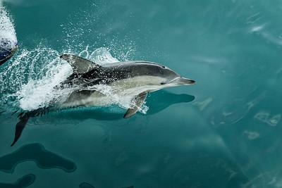 Dolphin Surfing.