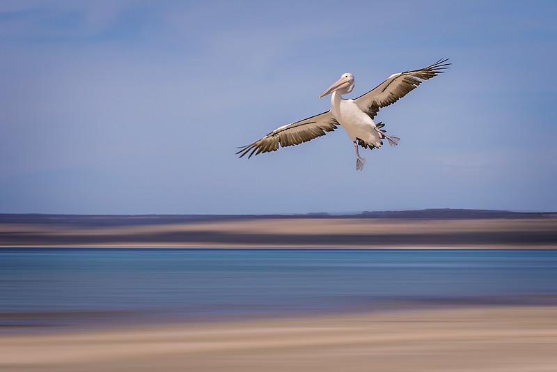 Landing Peiican.