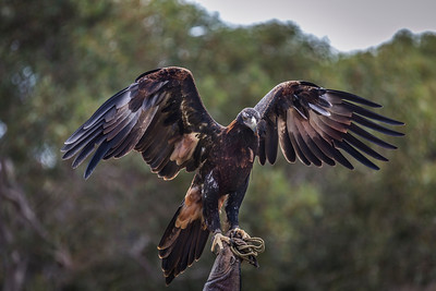 Wedgetail Eagle.