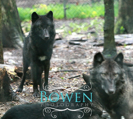 Wolves of Bays Mountain, TN