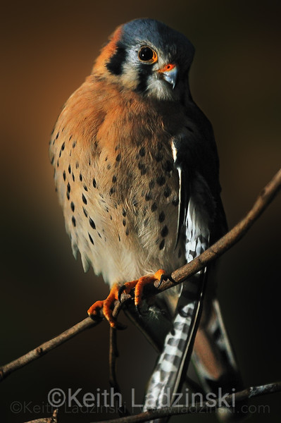 American Kestrel perched on a limb
