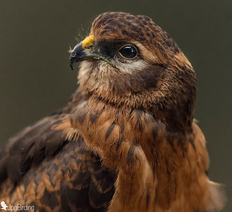 Montagu's Harrier series - female portrait. Image taken in captivity