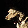 Tess the House dog, Oakland, California