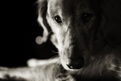 Dog Portraiture