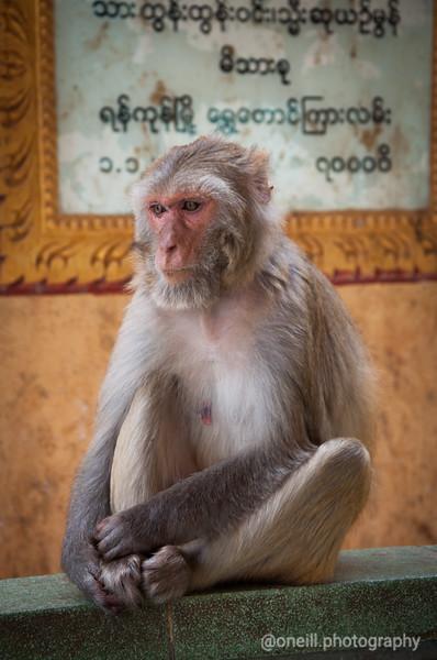Monkeys of Mt Popa