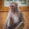 Monkeys of Mt Popa