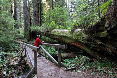 The coastal redwood forest is AMAZING. This was probably one of my favorite hikes of all times. It was in the Jedediah Smith State Park in northern California. This was one of the relatively 'small'  redwoods that fell over.