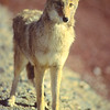 Wiley Coyote.