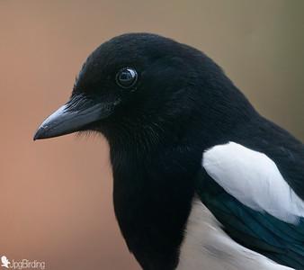 Magpie. Portrait