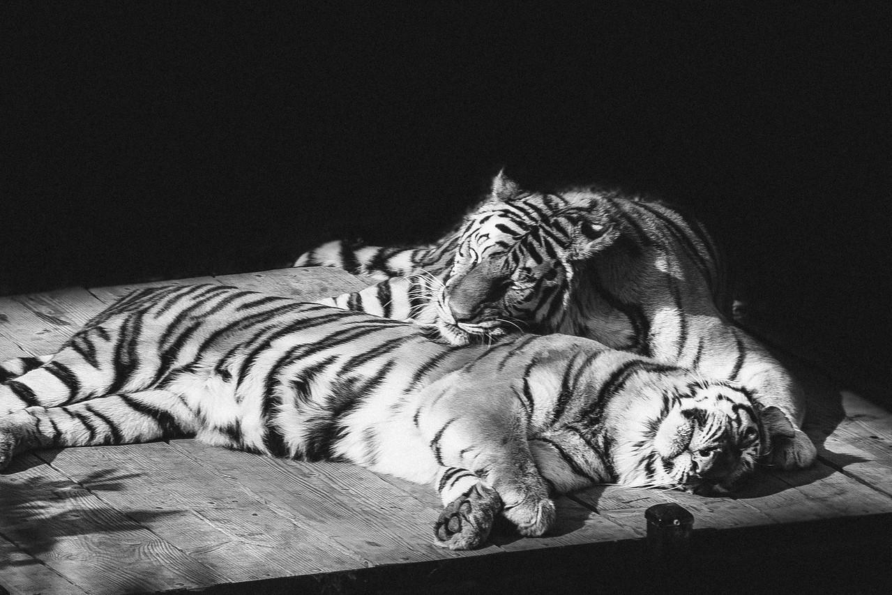 Tiger Cuddle