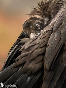 Scavenger Birds. Black vulture . Portrait