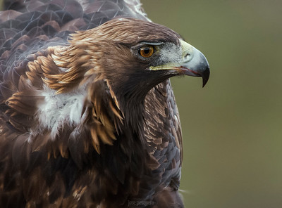 The Golden Eagle (Aquila chrysaetos). Standing.
