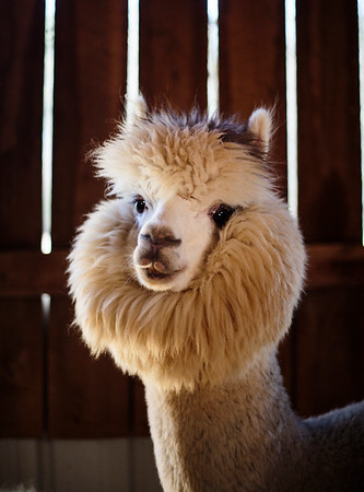 Nadav Soroker/Times-Georgian  Silver Lining pauses in the light at the Marshall's Alpaca Farm in Douglasville, on Friday, March 22, 2019.