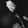 rose-web 3