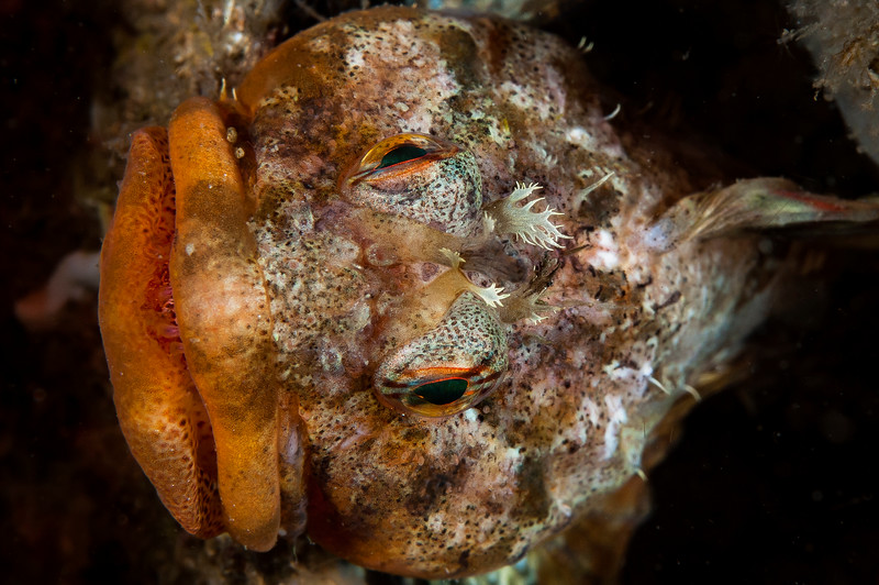 Scalyhead sculpin in its den
