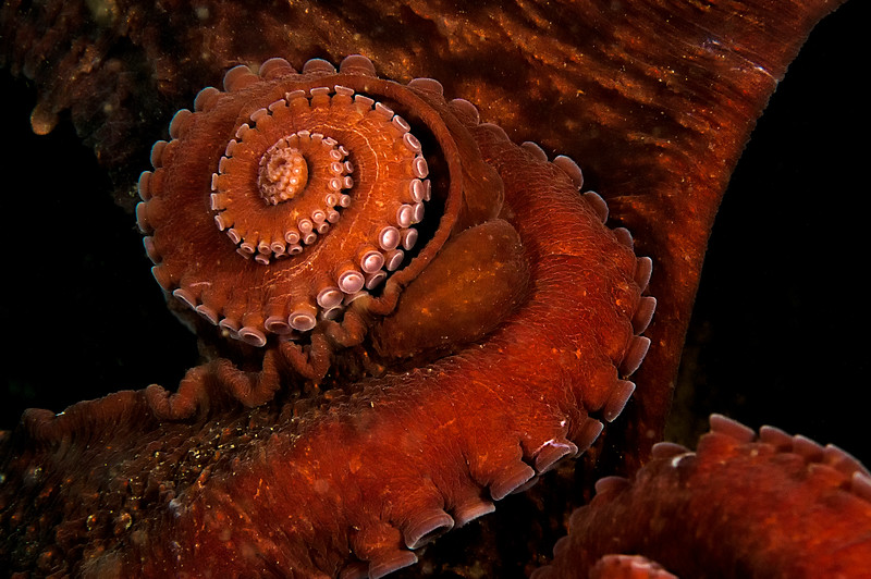 Spiraled arm of giant pacific octopus out hunting