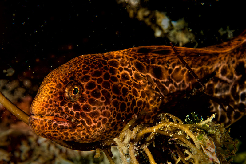 Juvenile Wolf Eel out of its den