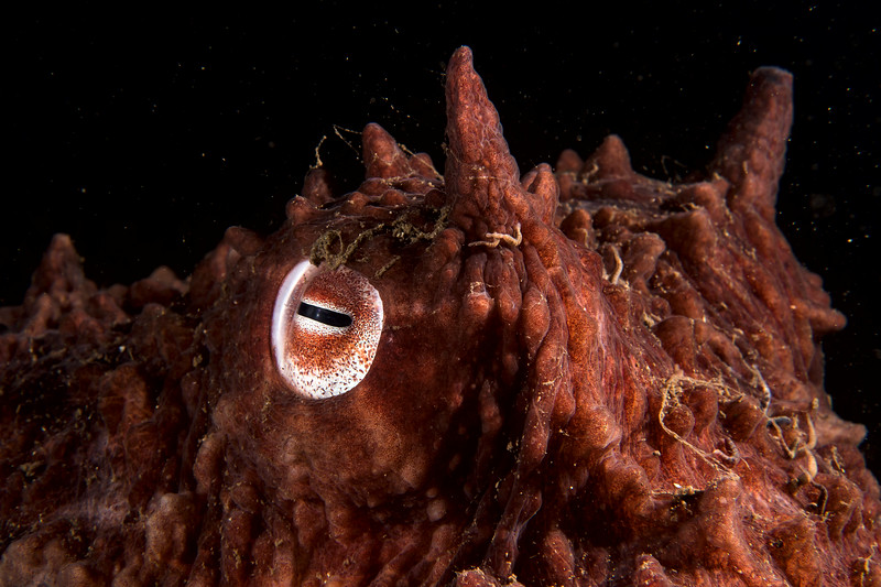 Giant pacific octopus on the reef