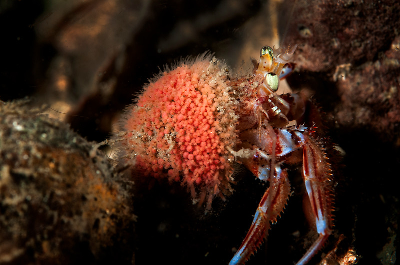 Alaskan hermit crab covered by snail fur hydroids
