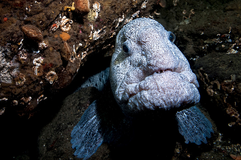 Adult Wolf Eel in its den