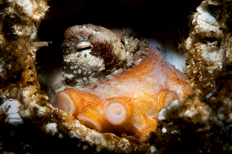 Juvenile giant pacific octopus in a giant barnacle