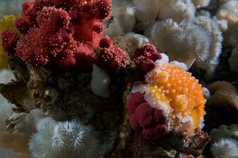 Orange Peel Nudibranch eating red soft corral