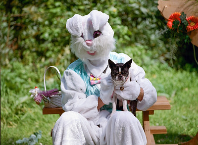 An Easter Bunny, and a pissed off Boston Terrier