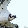 Fiskeørn / Osprey