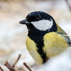 Kjøttmeis / Great tit