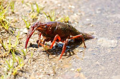 Lagostim de água doce [Procambarus clarkii]  Baixo Vouga Lagunar