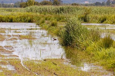 Pato  Baixo Vouga Lagunar - 30-05-2008