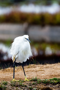 garça-branca-pequena