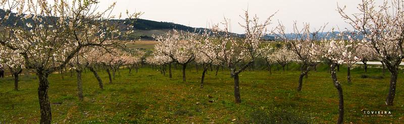 Amendoeiras em Flôr - Freixo de Espada à Cinta