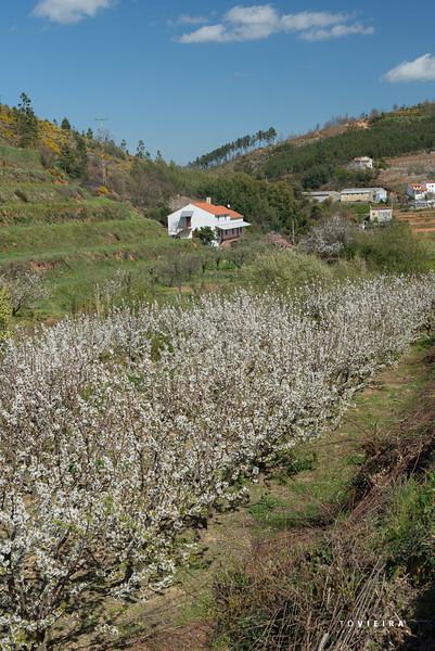 Rota da Cereja - Alcongosta - Fundão