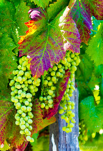 Green Grapes Ready To Be Picked