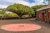 Açores-Pico-Biscoitos-Dragon Tree