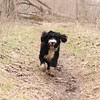 Portuguese Water Dog running in the mud