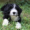 Portuguese Water Dog puppy at 8 weeks old