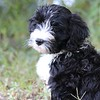 Portuguese Water Dog puppy deep in thought