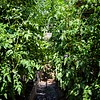 Towering Tomato Plants<br /> ©Martha Pollay