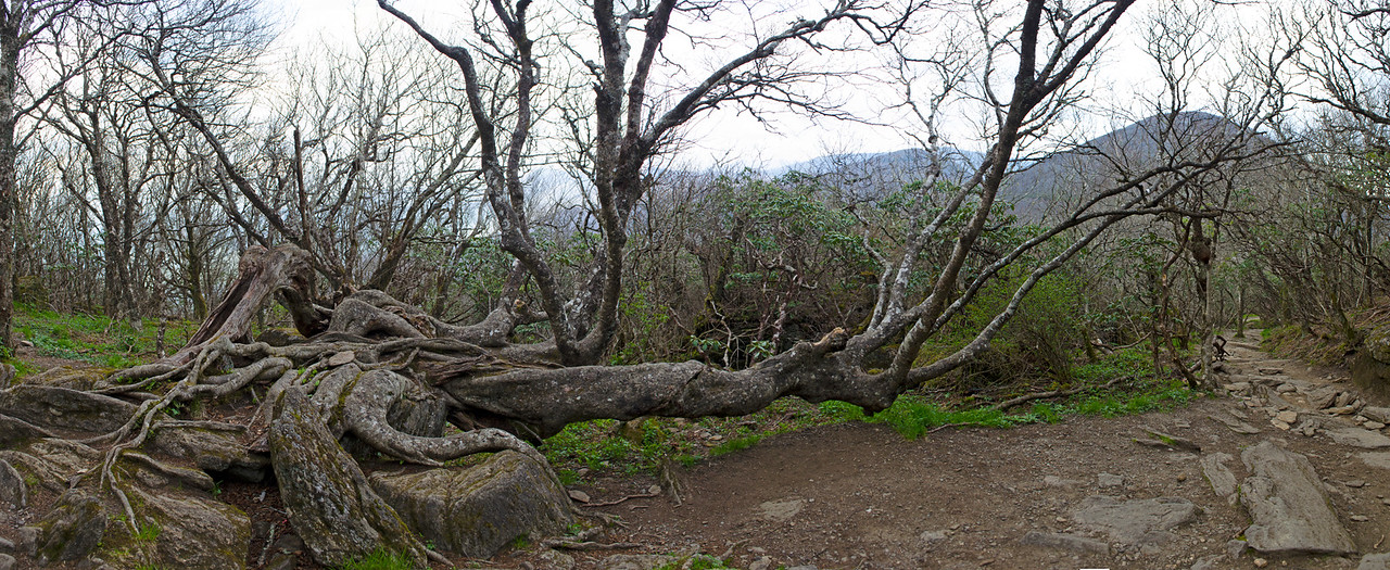 Strange-Tree-Panorama