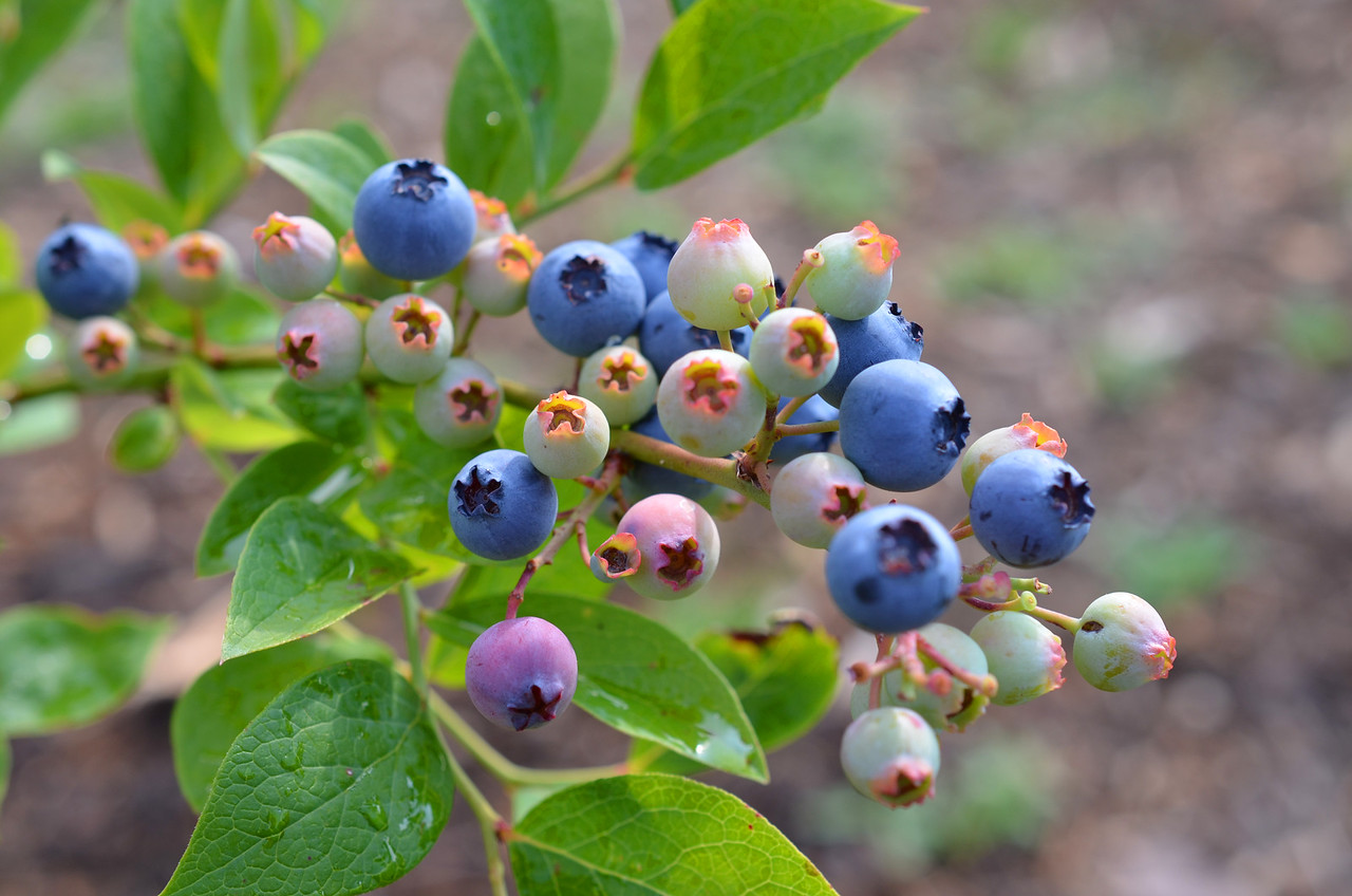 Rabbit-Eye-Blueberries