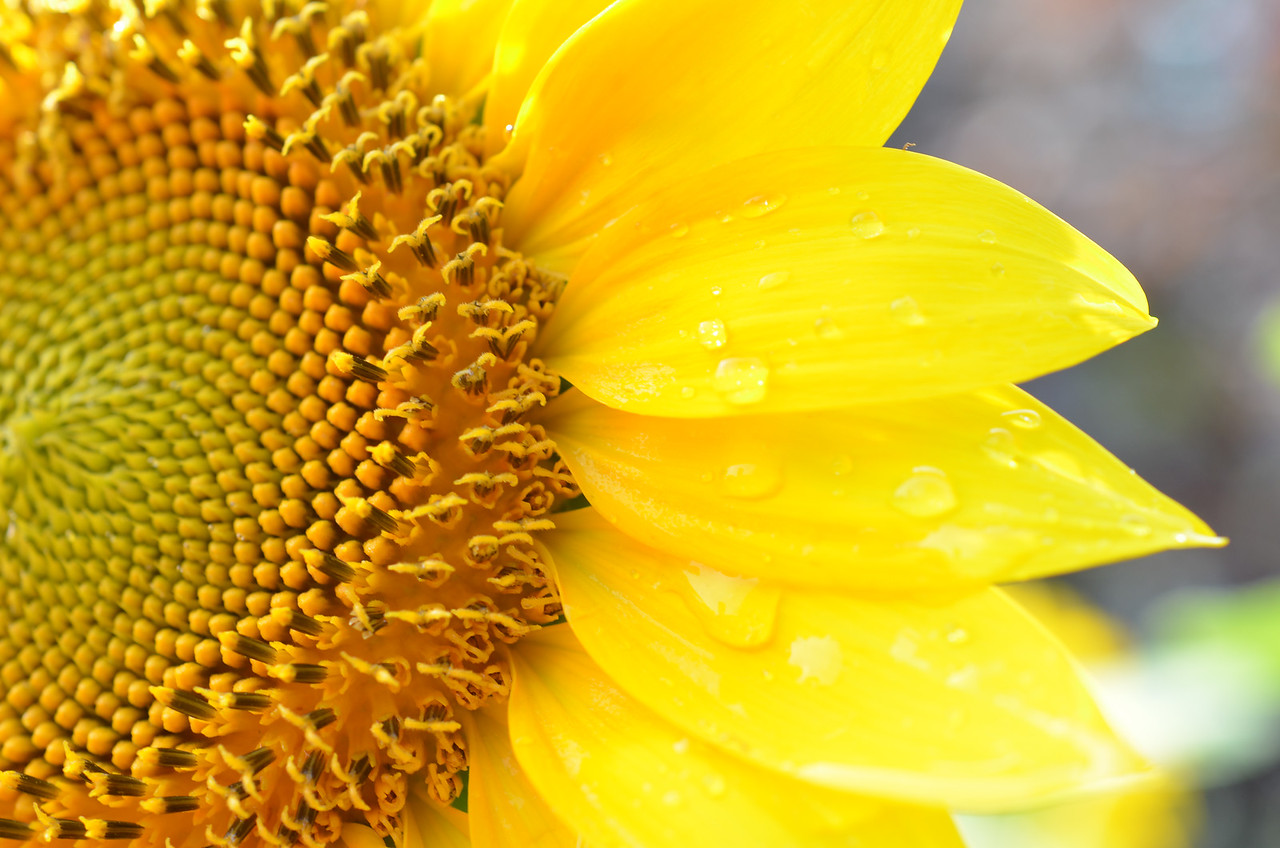 Sunflower up close