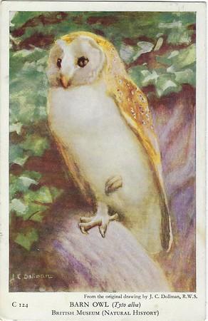 Barn Owl British Museum (Natural History)