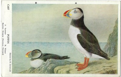 Puffin British Museum (Natural History)