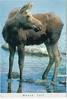 Moose Calf Boston 1999 PD