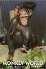 Chimpanzee Bart Monkey World 2016