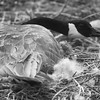 2017 Pufferbilly Days Photo Contest - Goose, Mother