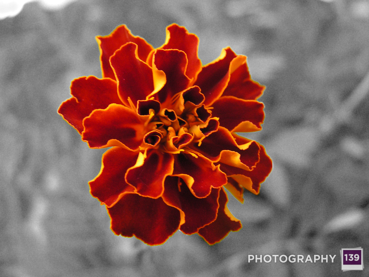 2005 Boone County Fair Photography Contest - Black, White, and Marigold